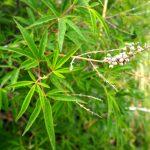 Karahayıt'ta (Denizli) Hayıt Ağacının (Vitex agnus-castus L.)  Geleneksel Kullanımı