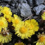 Phaselis Antik Kenti Florası II
