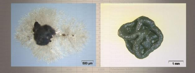 Phaselis'teki Bazı Biyositlerin Tarihi Eserlerden İzole Edilen Siyah Mikrokoloniyal Mantarlara Etkileri